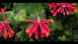 EcoBeneficial Tips: Native Honeysuckle