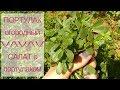 Собираю ПОРТУЛАК огородный ♥ Салат с портулаком ♥ Кипр