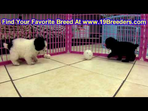 Toy Poodle Puppies For Sale In Bellevue Washington Wa
