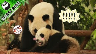 Video 【Panda Theme】My Mom Is The Coolest Panda In The World! 20170716 | iPanda download MP3, 3GP, MP4, WEBM, AVI, FLV Oktober 2018