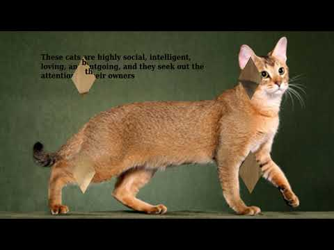 Chausie - domestic cat breed