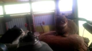 Кошка атакует ботинок.