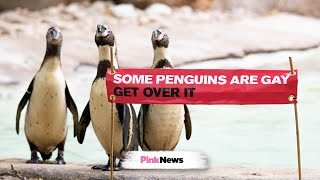 <b>Gay</b> animals? Yep, these penguins are in same-sex relationships ...