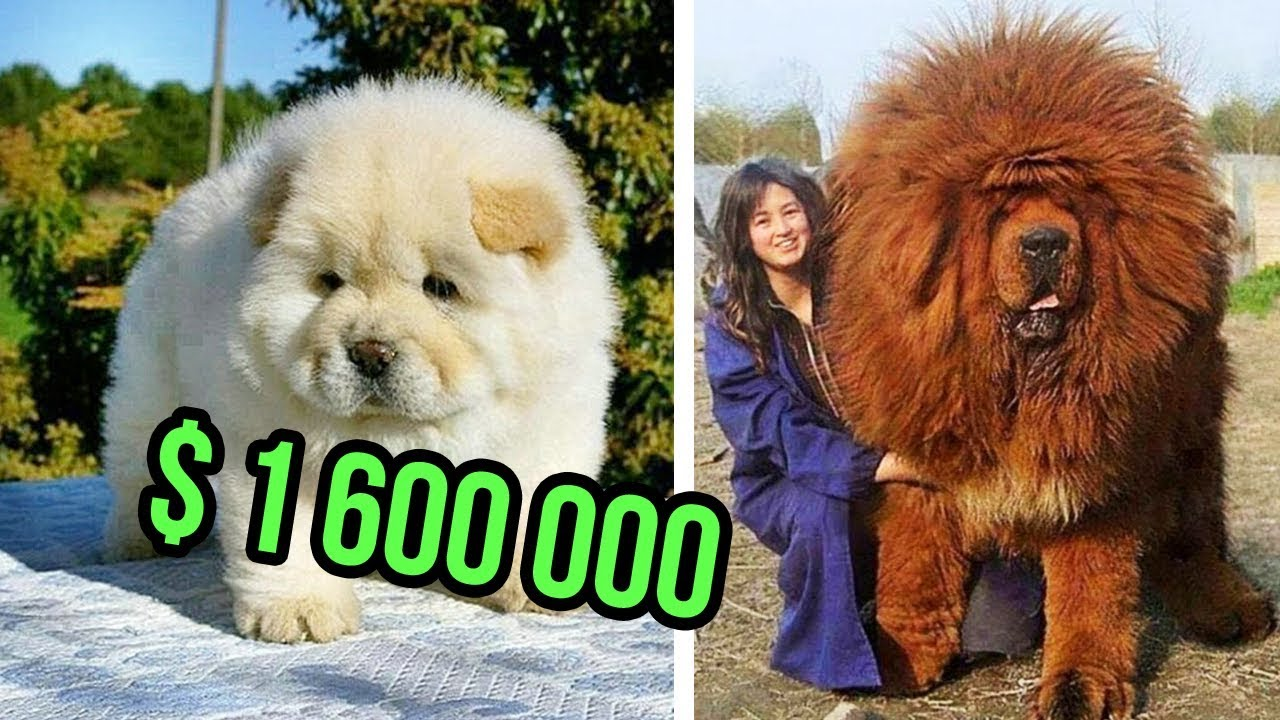 The Most Expensive Dog Breeds In The World Youtube