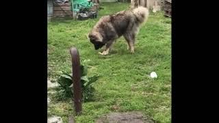 Йоркширский терьер против кавказской овчарки.