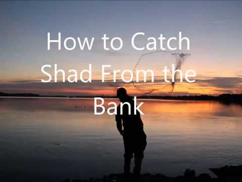 How To Catch Shad Videohow