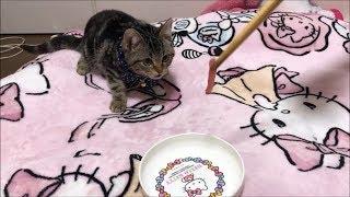 子猫が初めてまぐろの刺身を食べるとこうなりますw thumbnail