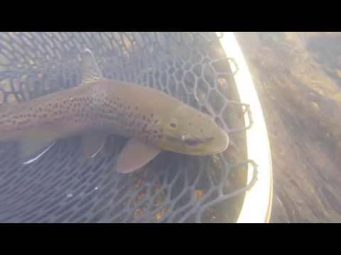 Brown Trout Release on the SoHo