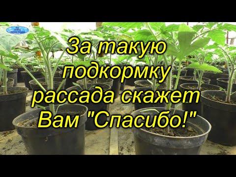 Очень полезная подкормка для рассады томатов! Чем и как правильно провести подкормку рассады. | подкармливать | выращивание | подкормить | подкормку | подкормка | растения | провести | рассаду | своими | руками