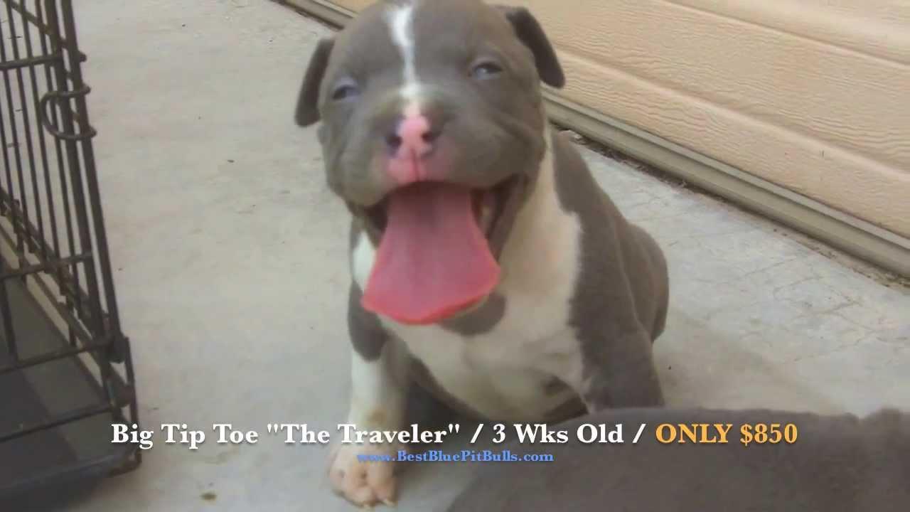 Pitbull puppies for sale in Arizona 'PR' UKC Registered Blue Pit Bull  Puppies
