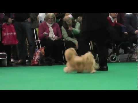 Crufts 2013 Lhasa Apso Post Graduate Dog