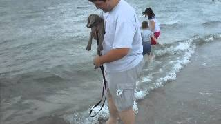 Jamie The Weimaraner Puppy's First Trip To The Beach