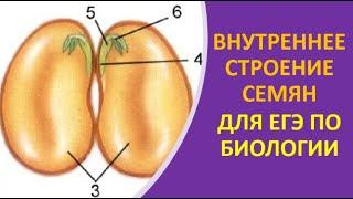 21. Внутреннее строение семян для ЕГЭ по биологии