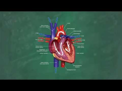 Herz & Blutkreislauf Verständlich Erklärt!