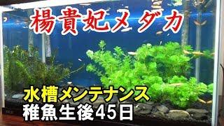 メダカ水槽60cm 立ち上げ1か月半稼働の現在 この動画の再生リスト:http...