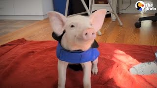 Piglet Saved From Farming Truck Loves Belly Rubs Now
