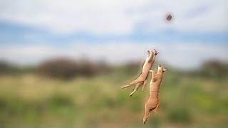 Caracal jump!