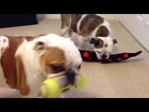 Best Toy Ever, English Bulldogs