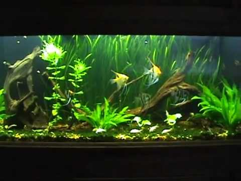125 gallon Planted Angelfish Aquarium. 7-1/2 month update ...