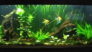 125 Gallon Planted Angelfish Aquarium. 7-1/2 Month Update