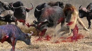 AMAZING BUFFALO ATTACKS  AND kILLS  LION_Craziest Animal Fights Caught