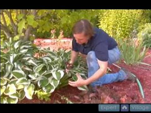 How To Care For Hostas Gardening Tips Cutting Grooming Hostas