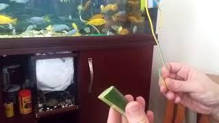 Ciklet balıkları çiğ salatalık yer mi?