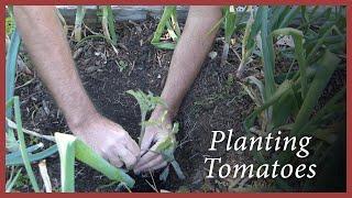 Planting Tomatoes: Using Eggshell Calcium