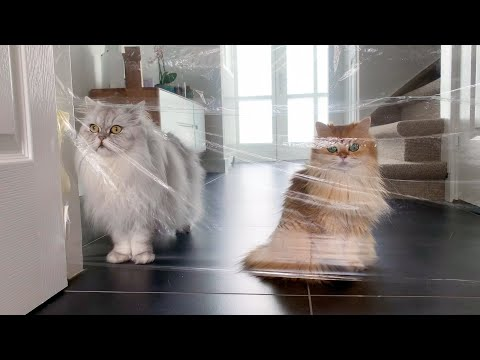 cats-try-the-invisible-challenge