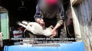 Une enquête de PETA États-Unis au sein de la filière argentine qui fournit de la laine à Patagonia