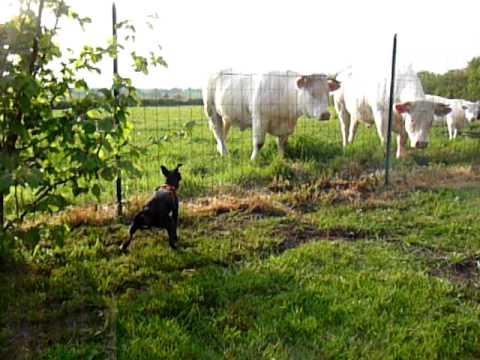 Manchester Terrier loves cows