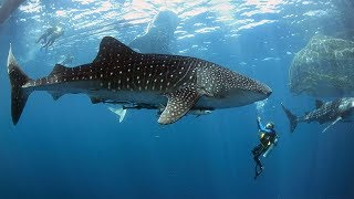 Настоящие ГИГАНТЫ подводного мира! – Самые БОЛЬШИЕ АКУЛЫ в мире!