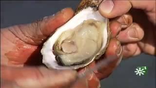 Cultivo de ostras en un estero de la Bahía de Cádiz