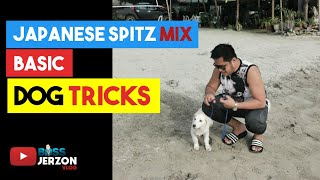 Japanese Spitz mix with Aspin learns Basic Dog Tricks...