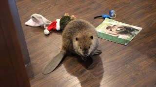 'Justin Beaver' Makes Dams Out of Household Items After Rescue