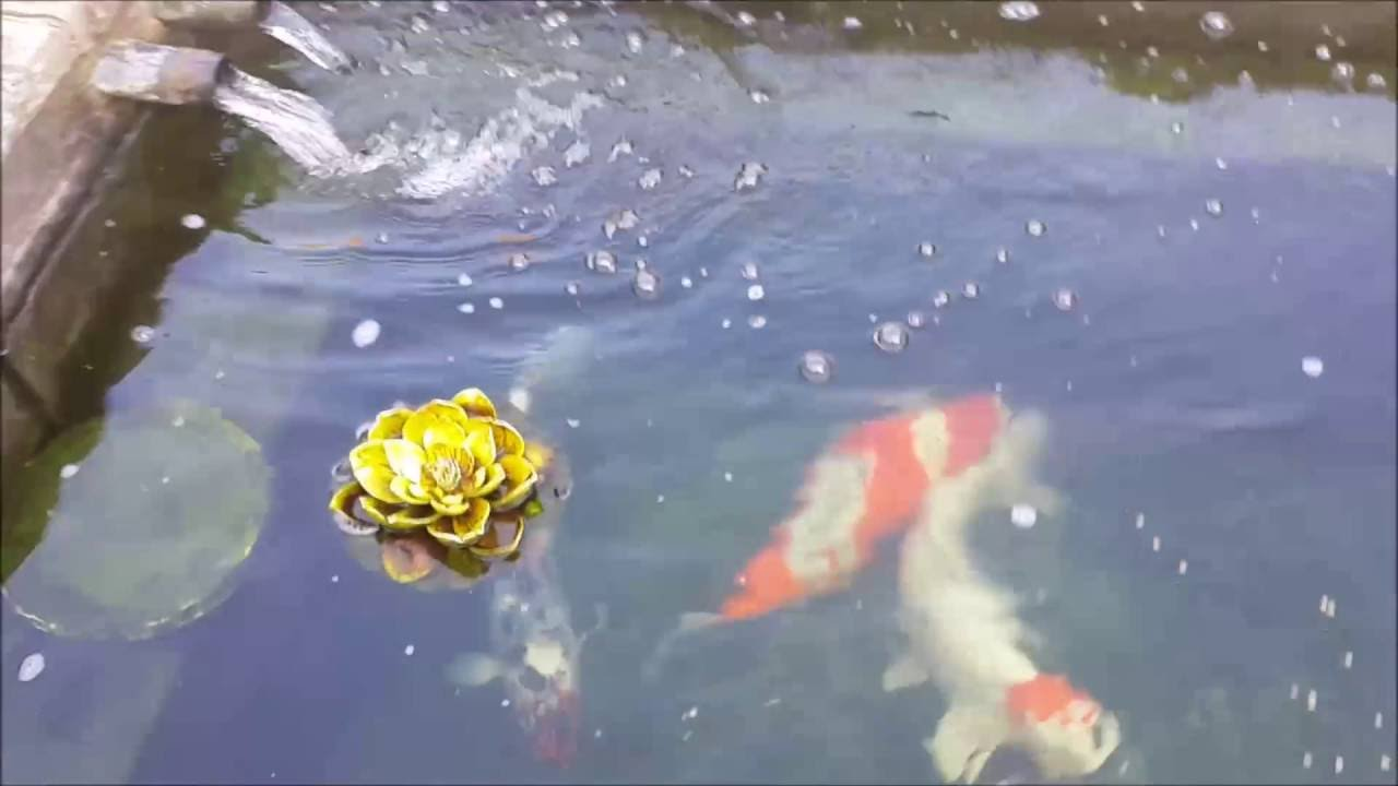 Koi Pond Clear Water At Last