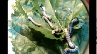 Mi película sobre los gusanos de seda