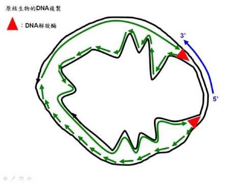 10502選修生物ch11 2 13原核生物的DNA複製二樂