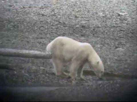 Polar bear (Ursus maritimus) _Spitsbergen