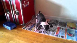 House Training Puppy - Blue Nose Pitbull APBT - Potty Training