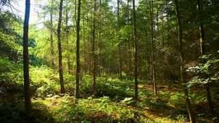 Relaxation music [birds singing in the forest]
