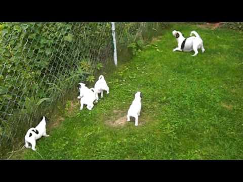 Hodowla Jack Russell Terrier szczeniaki 2 miot