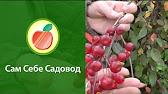Купить в бахмут байя мариса ( яблоко с красной мякотью) саженцы яблонь в бахмут украина — от николаевский сад в каталоге allbiz!