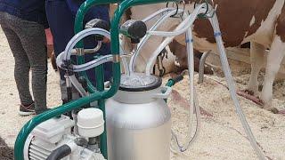 Утренняя дойка. Стрим с Золотой Осени. Молочный КРС. Доение коров.