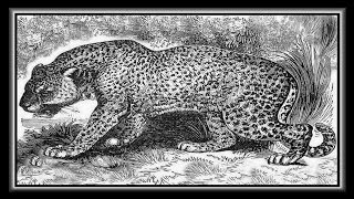 «King Cheetah & Jaguar animals» картинки фото шоу.