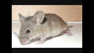 Alarmed mouse squeaking - Sounds
