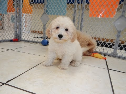 Bichon Poo Puppies For Sale In Hartford Connecticut
