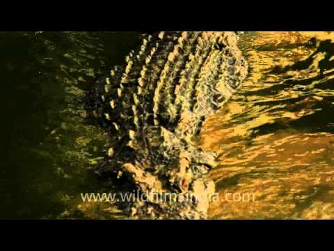 Water monitor and Crocodile - large reptiles!