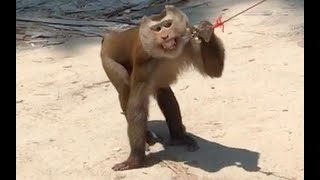 Monkeys Abused by Coconut Farmers