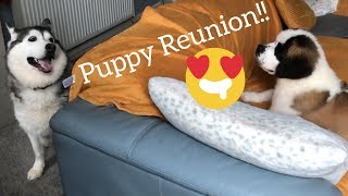 HUSKY REUNION WITH PUPPY!!! [CUTEST VIDEO EVER!!!]